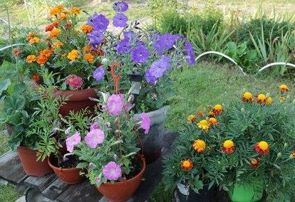Выращиваем цветы в контейнерах