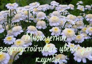 Засухоустойчивые цветы для клумбы