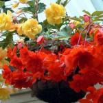 Бегонии –  в саду и на подоконнике