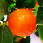 Хурма – «оранжевое солнце»